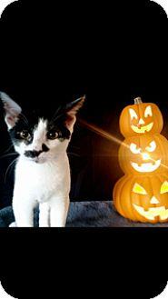 Domestic Shorthair Kitten for adoption in North Brunswick, New Jersey - Cheyenne