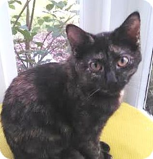Domestic Shorthair Kitten for adoption in Walworth, New York - Turtletail