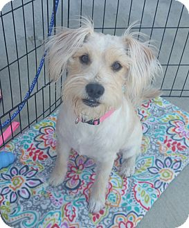 Schnauzer (Miniature)/Terrier (Unknown Type, Medium) Mix Dog for adoption in La Verne, California - Sunset