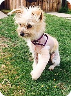 Terrier (Unknown Type, Small) Mix Puppy for adoption in Los Angeles, California - TRACY