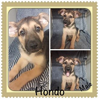Shepherd (Unknown Type) Mix Puppy for adoption in East Hartford, Connecticut - Hondo Adoption pending