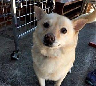 Corgi/Labrador Retriever Mix Dog for adoption in Stone Mountain, Georgia - Ella