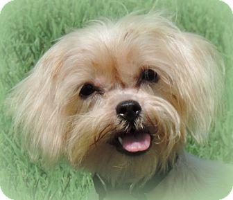 Shih Tzu/Maltese Mix Dog for adoption in Anderson, South Carolina - Camille