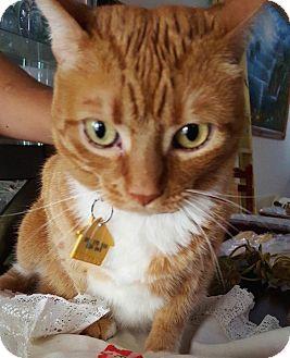 British Shorthair Cat for adoption in Miami, Florida - Kittie