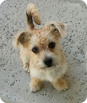 Terrier (Unknown Type, Small) Mix Puppy for adoption in San Clemente, California - Louise