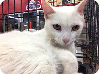 Manx Cat for adoption in Riverside, California - Marshmallow