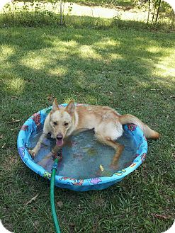 German Shepherd Dog Mix Dog for adoption in Tallahassee, Florida - Ginger