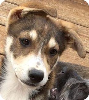 Shepherd (Unknown Type)/Alaskan Malamute Mix Puppy for adoption in Poway, California - Sitka