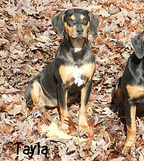 Black and Tan Coonhound Mix Dog for adoption in Lawrenceburg, Tennessee - Tayla
