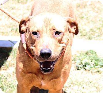 Labrador Retriever/Black Mouth Cur Mix Dog for adoption in Pluckemin, New Jersey - Kelly