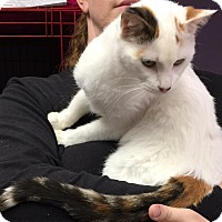 Domestic Shorthair Cat for adoption in Joplin, Missouri - Tosha