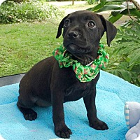 Adopt A Pet :: Anna Pup #7 - Olive Branch, MS