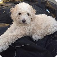 Adopt A Pet :: Daisy - El Segundo, CA
