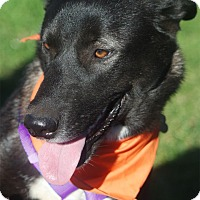 Husky/Labrador Retriever Mix Dog for adoption in Sacramento, California - Houdini gal fun smart