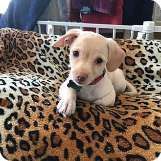 Terrier (Unknown Type, Medium) Mix Puppy for adoption in Monrovia, California - Miles
