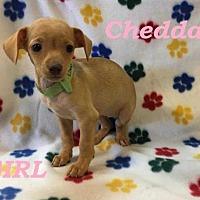 Adopt A Pet :: Cheddar - sylmar, CA