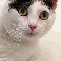 Adopt A Pet :: Callie - Morganton, NC
