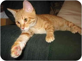 Domestic Shorthair Kitten for adoption in San Diego, California - Keely