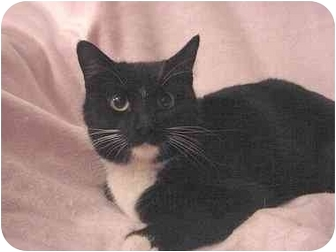 Domestic Shorthair Cat for adoption in The Colony, Texas - CiCi