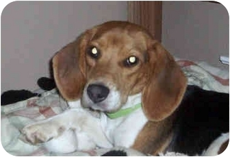 Beagle Puppy for adoption in Olive Branch, Mississippi - Daisy