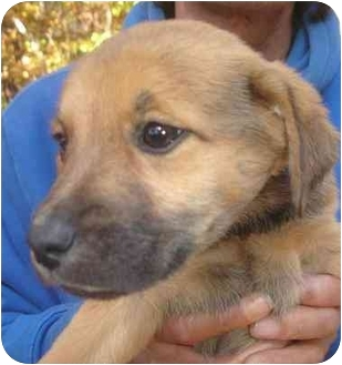 Labrador Retriever/Shepherd (Unknown Type) Mix Puppy for adoption in Old Bridge, New Jersey - Pansy