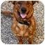 Photo 1 - Plott Hound/Labrador Retriever Mix Dog for adoption in Osseo, Minnesota - Koko Bear