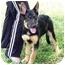 Photo 2 - German Shepherd Dog Puppy for adoption in Dripping Springs, Texas - Diesel