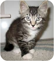 Domestic Mediumhair Kitten for adoption in Shelton, Washington - Darby