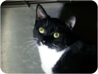 Domestic Shorthair Cat for adoption in El Cajon, California - Lucy