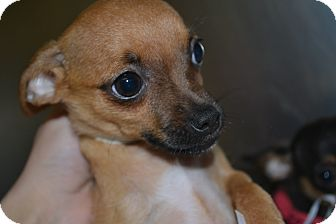 Chihuahua Mix Puppy for adoption in Edwardsville, Illinois - Adair