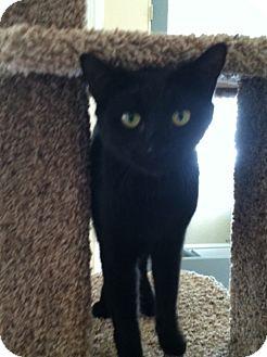 Domestic Shorthair Cat for adoption in Salt Lake City, Utah - Isis