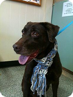 Labrador Retriever Dog for adoption in Sun Valley, California - Chocolate