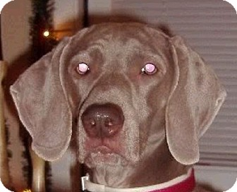 Weimaraner Dog for adoption in Smithfield, North Carolina - Smooch