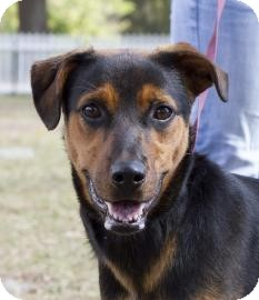 Labrador Retriever/Rottweiler Mix Dog for adoption in Gainesville, Florida - Bailey