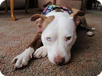 Pit Bull Terrier Mix Dog for adoption in Hillsborough, New Jersey - Josie