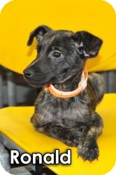 Labrador Retriever/Shepherd (Unknown Type) Mix Puppy for adoption in Encino, California - Ronald
