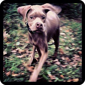 Weimaraner Mix Puppy for adoption in Brooklyn, New York - Marvelous Murray