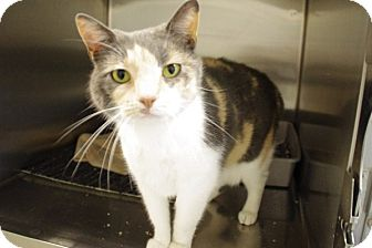 Domestic Shorthair Cat for adoption in Elyria, Ohio - Kit Kat