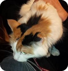 Domestic Mediumhair Cat for adoption in Rochester, New York - ROXY - CHARMING SWEETIE (25.00