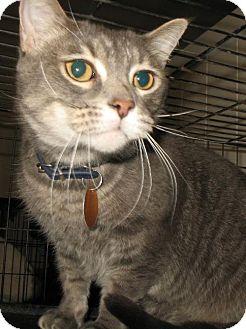 Domestic Shorthair Cat for adoption in Springfield, Missouri - Adonis