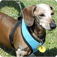 Adopt A Pet :: Heidi Sue - San Jose, CA