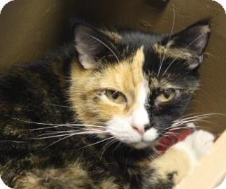 Domestic Shorthair Cat for adoption in West Des Moines, Iowa - Troubles