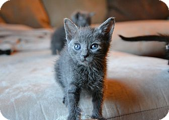 Russian Blue Kitten for adoption in Brooklyn, New York - CJ