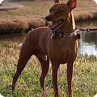 Adopt A Pet :: Dasher - Nashville, TN