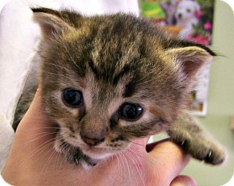 Domestic Shorthair Kitten for adoption in Toledo, Ohio - Samantha