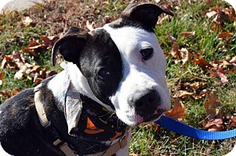American Staffordshire Terrier/American Bulldog Mix Dog for adoption in Cranston, Rhode Island - Gemma
