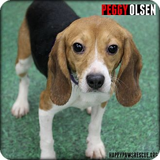 Beagle Dog for adoption in South Plainfield, New Jersey - Peggy Olsen
