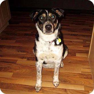 Blue Heeler Mix Dog for adoption in Edmonton, Alberta - Ronnie