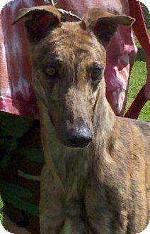 Greyhound Dog for adoption in Randleman, North Carolina - Zelda