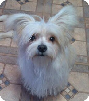Maltese Mix Puppy for adoption in Hagerstown, Maryland - Marty